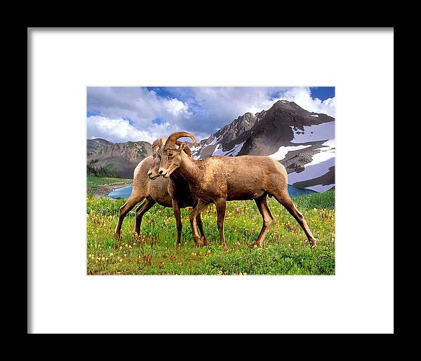 Bighorn Sheep Framed Print featuring the photograph Battle Royal by Lanis Rossi