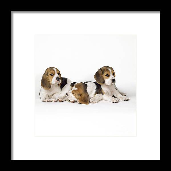 Beagle Framed Print featuring the photograph Beagle Puppies, Row Of Three, Second by John Daniels