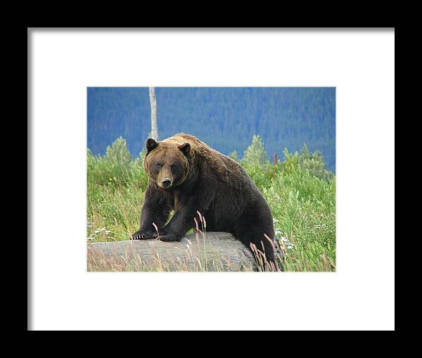 Animal Framed Print featuring the photograph Bearly Posing by Lew Davis