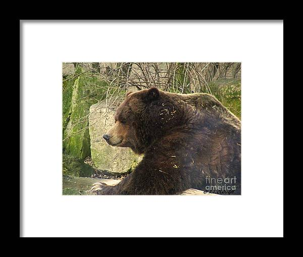 Brown Bear Bears Ohio Rlclough Zoo Zoos Framed Print featuring the photograph Bears In Ohio. No.22 by RL Clough