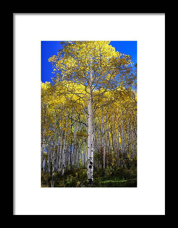 Aspen Tree Framed Print featuring the photograph Beautiful Aspen Tree by Rendell B