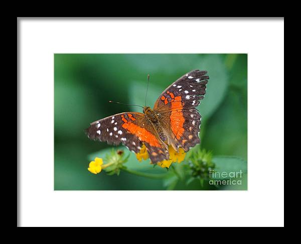 Nature Framed Print featuring the photograph Red Anartia Butterfly 1 by Rudi Prott