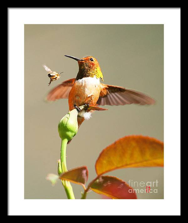 Hummingbird.bee. Rose.flower. Art. Pictures. Photo. Beautiful  Lovely.cute.bird.green Framed Print featuring the photograph Beautiful Fight by Rose Zhou