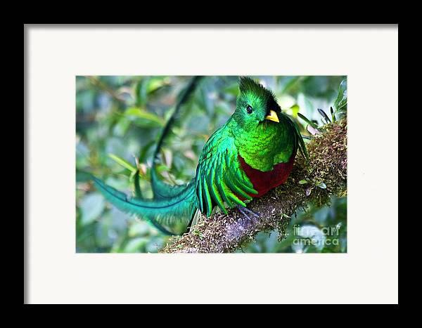 Bird Framed Print featuring the photograph Beautiful Quetzal 4 by Heiko Koehrer-Wagner