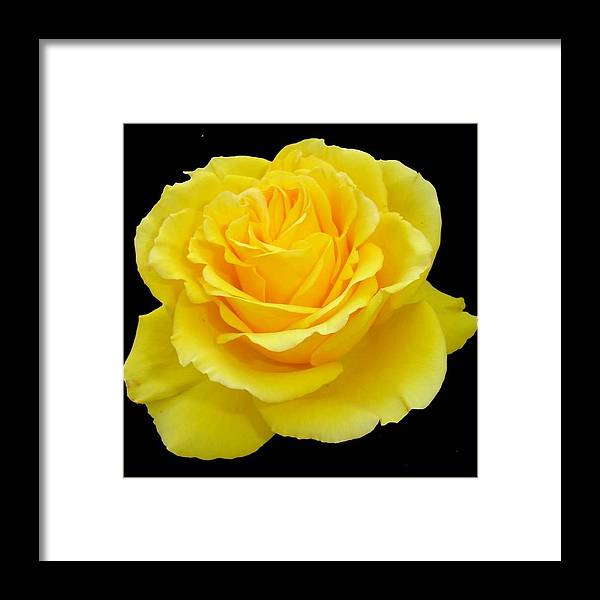 Beautiful Yellow Rose Flower On Black Background Framed Print By