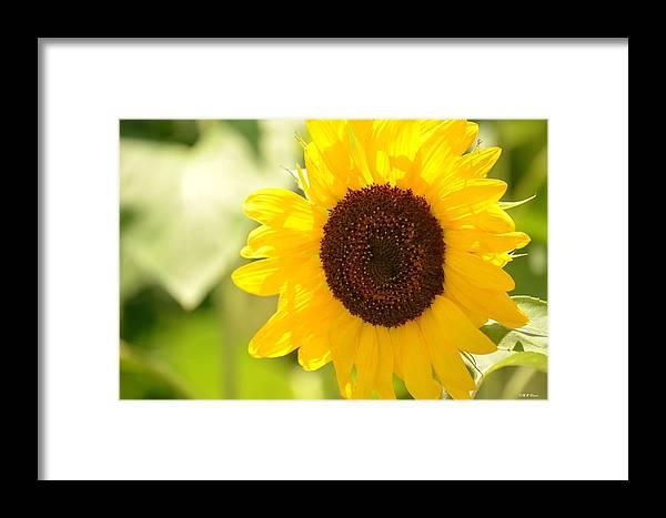 Beauty Beheld - Sunflower Framed Print featuring the photograph Beauty Beheld - Sunflower by Maria Urso