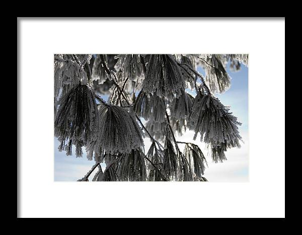 Pine Trees Framed Print featuring the photograph Beauty In The Shadow Of The Sun by Sharon Marx