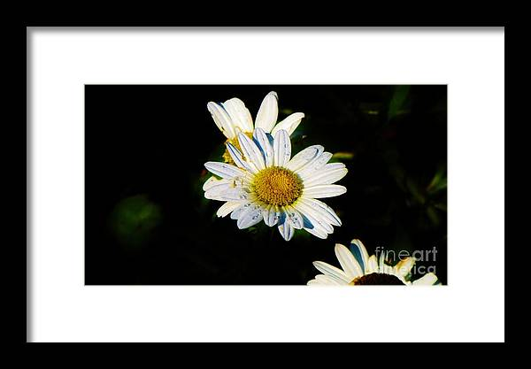Daisy Framed Print featuring the photograph Bed Of Daisy's For Daisy by Keri West