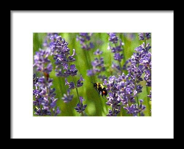 Framed Print featuring the photograph Bee 2 by David DeCenzo