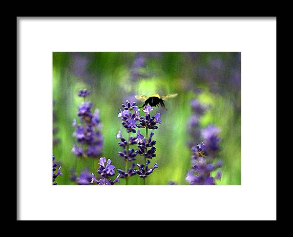 Framed Print featuring the photograph Bee 4 by David DeCenzo