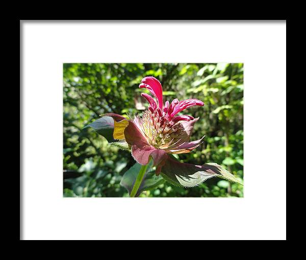 Bee Balm Framed Print featuring the photograph Bee Balm by Lisa Thomas