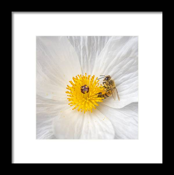 Bee Framed Print featuring the photograph Bee On A Poppy by Leigh Anne Meeks