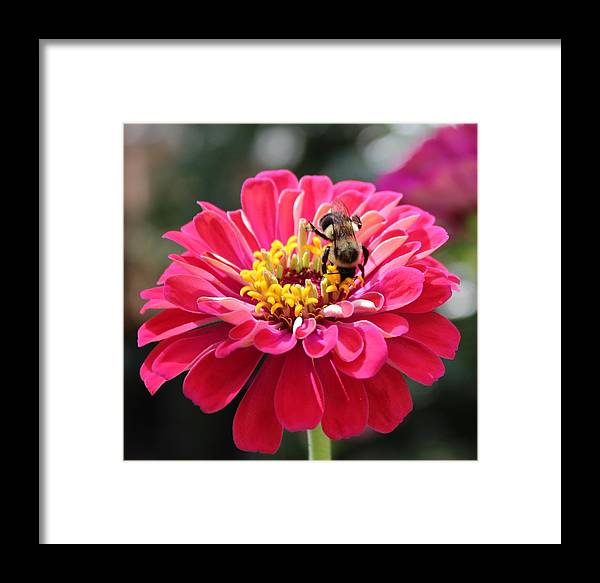 Zinnia Framed Print featuring the photograph Bee On Pink Flower by Cynthia Guinn
