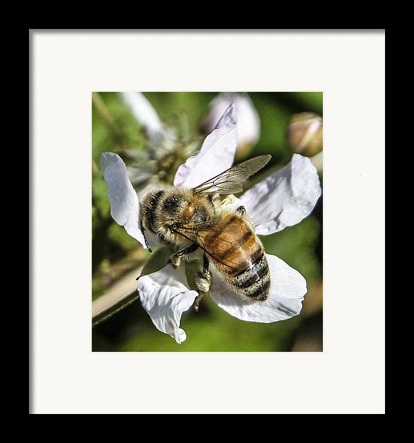 Bee Framed Print featuring the photograph Bee by Steven Taylor