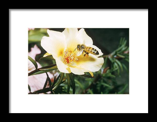 Animal Framed Print featuring the photograph Bee by W Treat Davidson