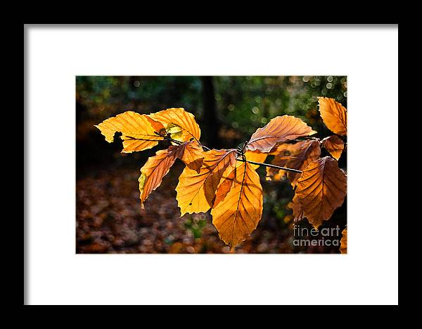 Beech Framed Print featuring the photograph Beech Leaves In Winter by Susie Peek