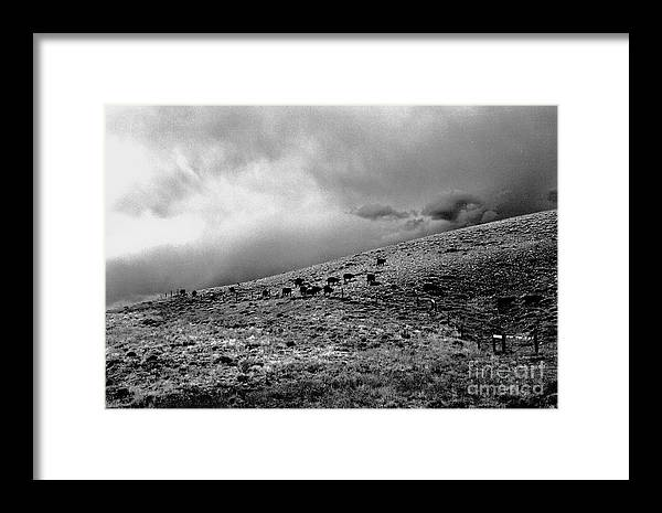 Cattle Framed Print featuring the photograph Before The Storm by Susan Chandler