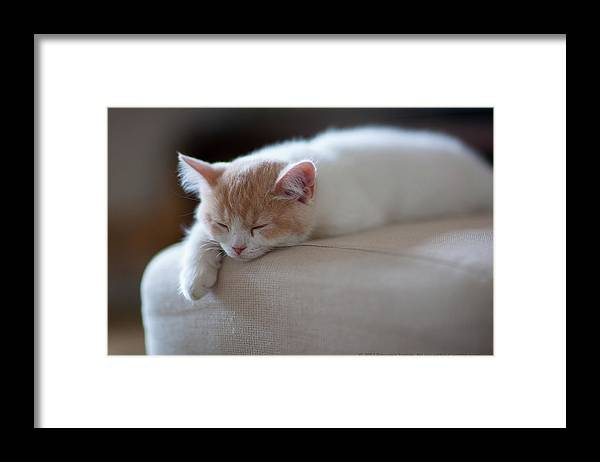 Pets Framed Print featuring the photograph Beige And White Kitten Sleeping On by Benjamin Torode