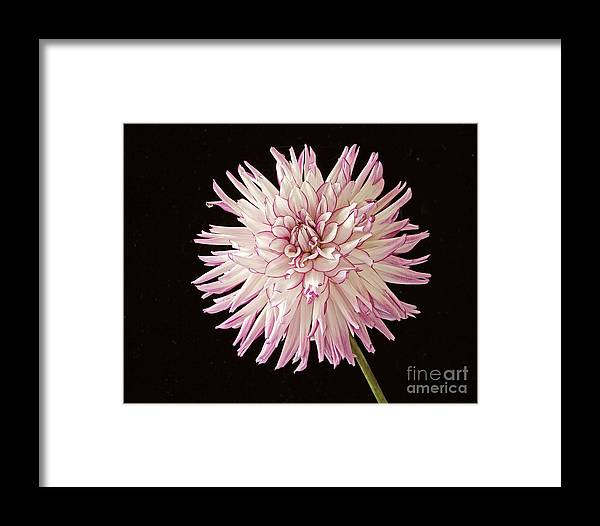 Dahlia Lavender White Black Background Flower Nature Garden Floral Belred Desire Beautiful One Flower Framed Print featuring the photograph Belred Desire by Ann Jacobson