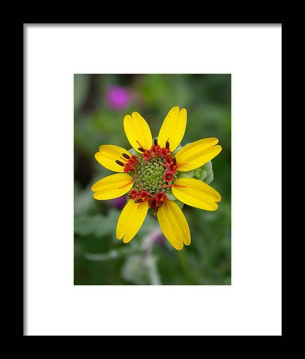 Chocolate Flower Framed Print featuring the photograph Berlandiera Lyrata by Cynthia Wallentine