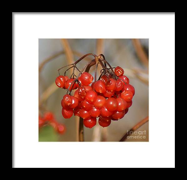 Autumn Framed Print featuring the photograph Berries by Carol Lynch