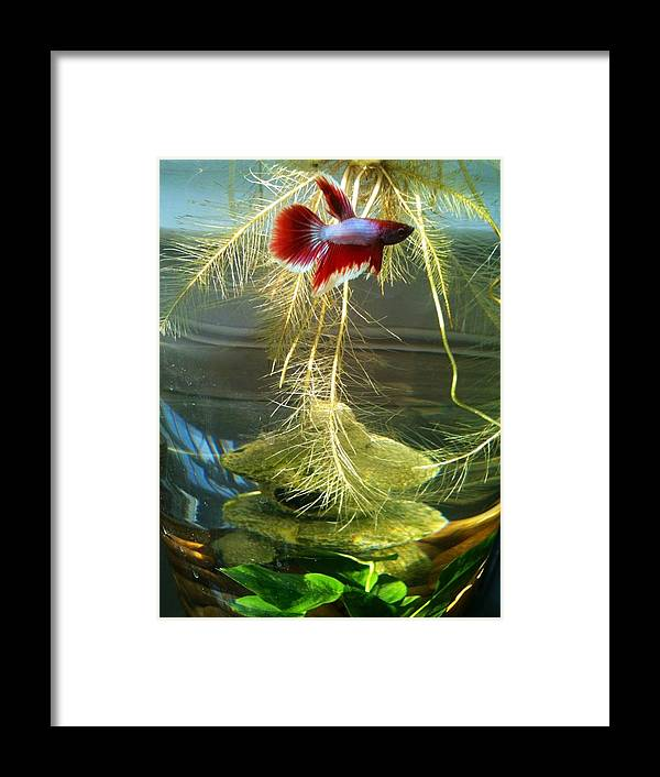 Betta Fish Framed Print featuring the photograph Betta Fish Moby Dick by Lois Ivancin Tavaf