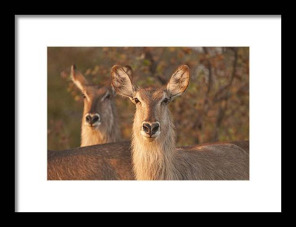 Waterbuck Framed Print featuring the photograph Better Than One by David Pryce