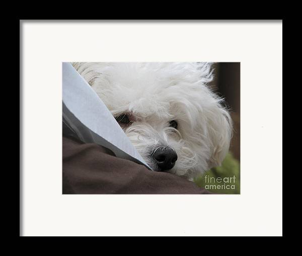 Bichon Friese Framed Print featuring the photograph Molly by Michael Krek