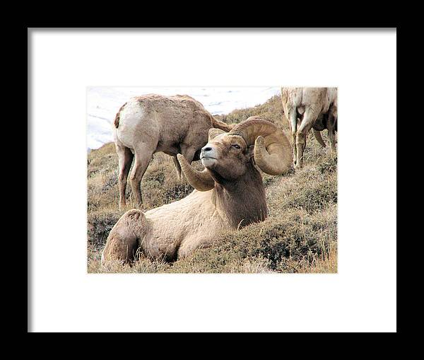Big Framed Print featuring the photograph Big Bighorn Ram by Darcy Tate
