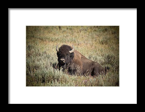 After We Watched A Buffalo Herd Cross The Lamar River In Yellowstone National Park Framed Print featuring the photograph Big Buff - Bison - Buffalo - Yellowstone National Park - Wyoming by Diane Mintle