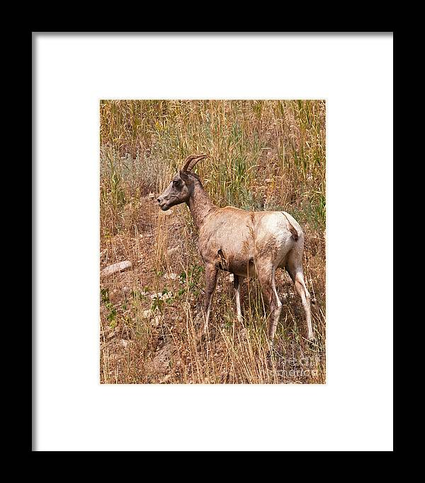 Sheep Framed Print featuring the photograph Big Horn Sheep Ewe by Timothy Flanigan and Debbie Flanigan Nature Exposure