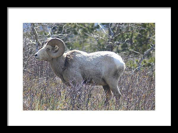 Big Horn Sheep Glacier National Park Framed Print featuring the photograph Big Stud by Michael Cressy
