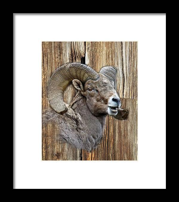 Wildlife Framed Print featuring the photograph Bighorn Sheep Barnwood by Steve McKinzie