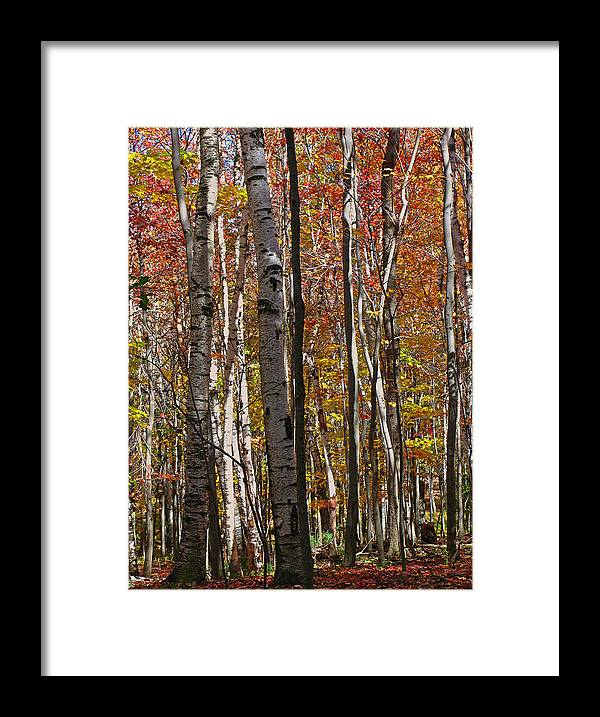 Foliage Framed Print featuring the photograph Birch Trees In Autumn by Juergen Roth