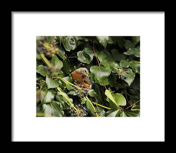 Bird Framed Print featuring the photograph Bird In The Ivy by Elery Oxford