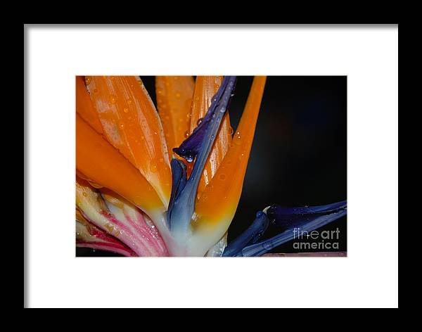Claudia's Art Dream Framed Print featuring the photograph Bird Of Paradise by Claudia Ellis