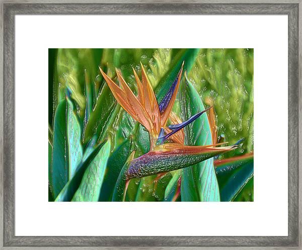 Bird Of Paradise Framed Print By John Holfinger