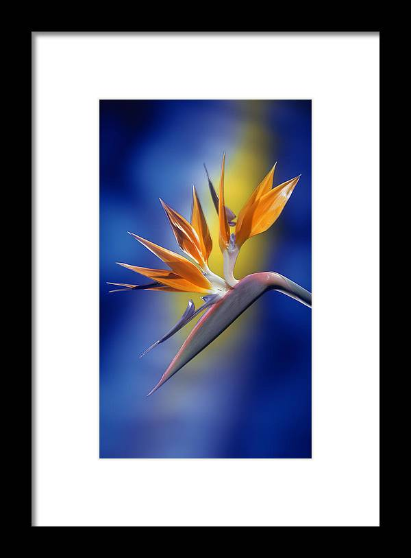 Bird Of Paradise Framed Print featuring the photograph Bird Of Paradise by Kirk Ellison