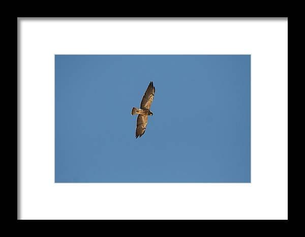 Bird Framed Print featuring the photograph Bird Of Prey by David S Reynolds
