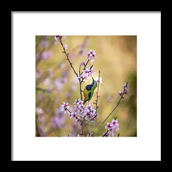 Bird Framed Print featuring the photograph Bird Whispering To The Peach Flower by Jianfeng Wang