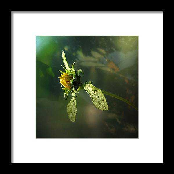 Framed Print featuring the photograph Birth Of A Sunflower by Ilona Stefan