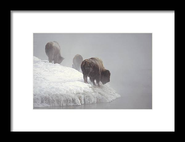 Feb0514 Framed Print featuring the photograph Bison Along Snowy Riverbank Yellowstone by Konrad Wothe