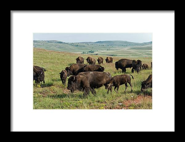 Grass Framed Print featuring the photograph Bison Buffalo In Wind Cave National Park by Mark Newman