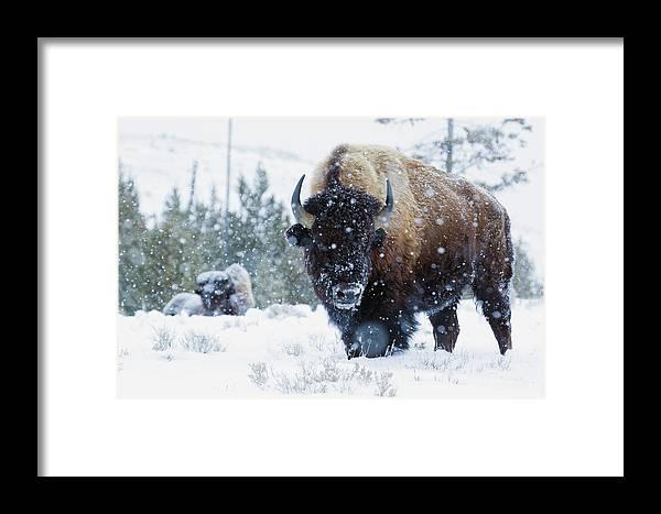Bison Framed Print featuring the photograph Bison Bulls, Winter Landscape by Ken Archer