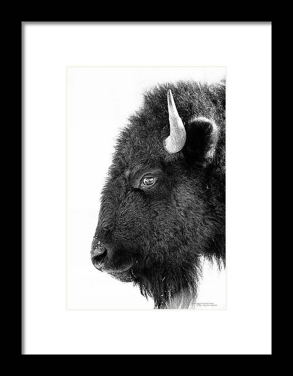 Animal Framed Print featuring the photograph Bison Formal Portrait by Dustin Abbott