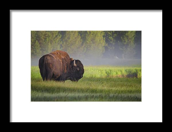Bison Framed Print featuring the photograph Bison In Morning Light by Sandipan Biswas