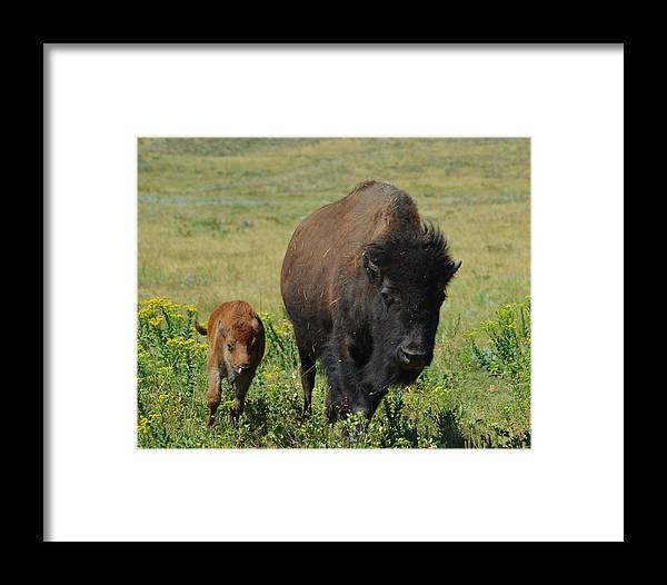 Dakota Framed Print featuring the photograph Bison Mother And Calf by Dakota Light Photography By Dakota