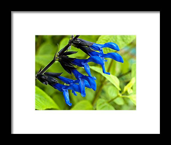 Salvia Framed Print featuring the photograph Black And Blue Salvia by Charles Hite