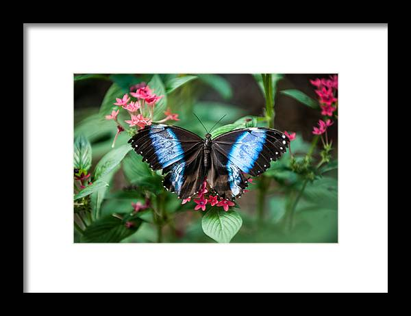 Flower Framed Print featuring the photograph Black and Blue Wings by Paul Johnson