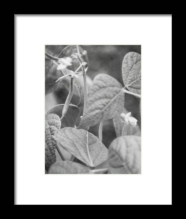 Climbing Pole Beans Producing And Blooming In My Garden Framed Print featuring the photograph Black And White Kentucky Wonder by Belinda Lee